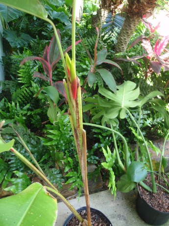 Heliconia Rostrata lobster claw