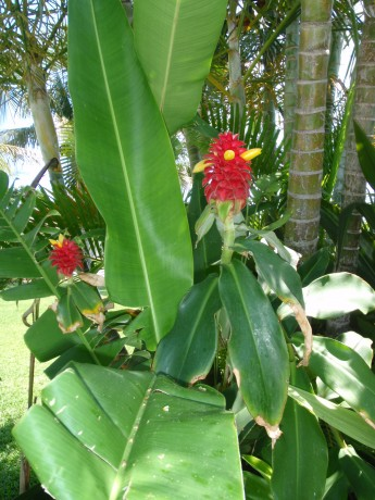 Costus Barbatus Red Tower Ginger